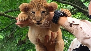 ミルク後ライオン赤ちゃんの写真・画像素材[2583166]