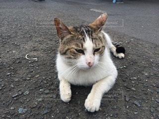 猫の写真・画像素材[97623]