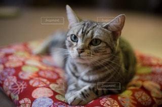 猫の写真・画像素材[97815]