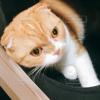 口を開けてオレンジと白の猫の写真・画像素材[2525627]