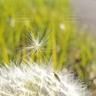 たんぽぽの綿毛のクローズアップの写真・画像素材[3254994]