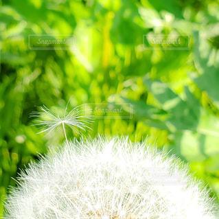たんぽぽの綿毛のクローズアップの写真・画像素材[3255086]
