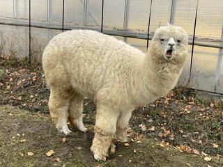 フェンスの隣に立っている白い羊の写真・画像素材[2693690]