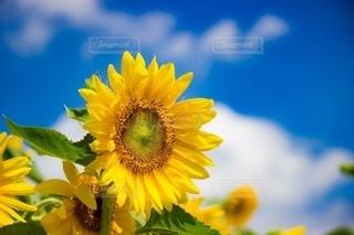 青空とひまわりの写真・画像素材[2527655]