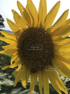 夏の向日葵の写真・画像素材[2534821]
