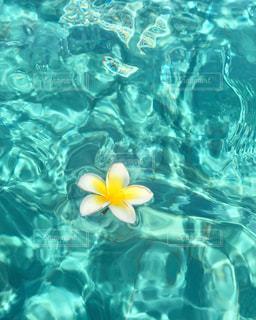 水面に浮かぶプルメリアの写真・画像素材[2540842]