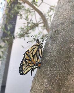 オリーブの枝にアゲハ蝶の写真・画像素材[2543352]