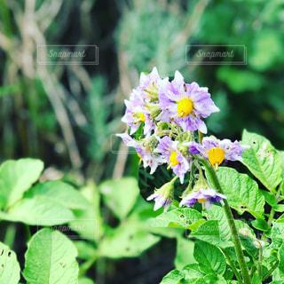ジャガイモの花の写真・画像素材[1312293]