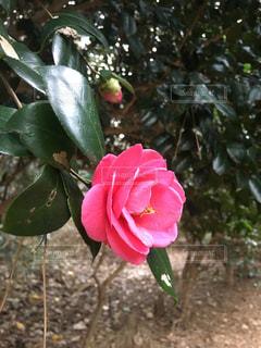 ピンクの写真・画像素材[2582075]