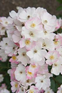 花の写真・画像素材[554374]