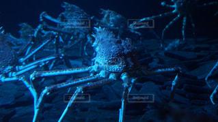 深海の巨大生物 タカアシガニの写真・画像素材[2540258]