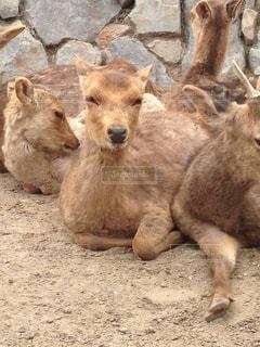 カメラ目線な鹿の写真・画像素材[2541234]