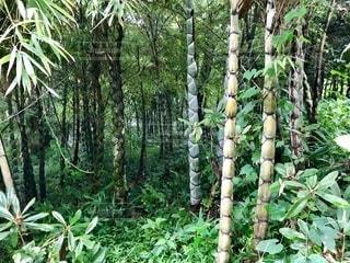亀甲竹の写真・画像素材[2563152]