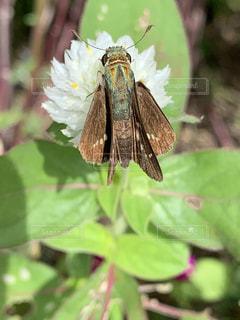 イチモンジセセリ蝶の写真・画像素材[2538100]