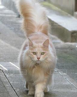 お猫様の散歩の写真・画像素材[2537854]