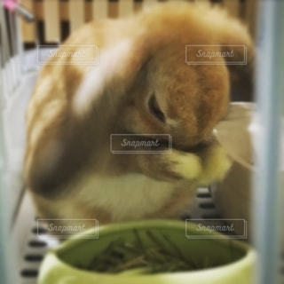 顔をあらうウサギの写真・画像素材[2533978]