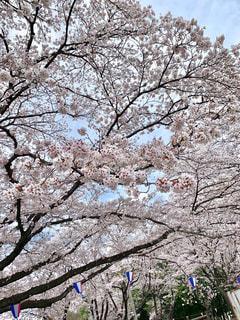 桜の写真・画像素材[2540565]