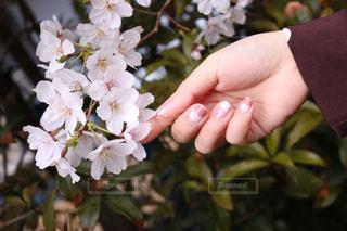桜とネイルの写真・画像素材[2548651]