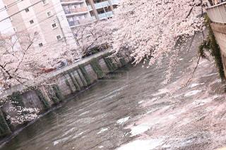 流れる桜の花びらの写真・画像素材[2548656]