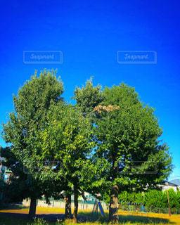 公園の大きな木の写真・画像素材[2682172]