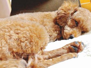 ベッドで寝ている犬の写真・画像素材[2971681]