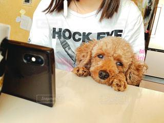 カメラを見ている茶色と白の犬の写真・画像素材[3019446]