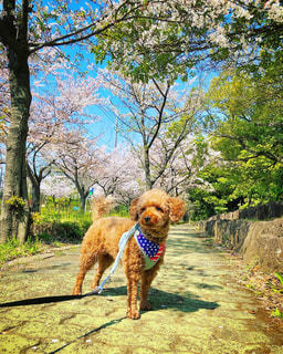 公園で歩いている犬の写真・画像素材[3073471]