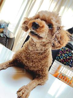 テーブルの上に座っている犬の写真・画像素材[3098789]