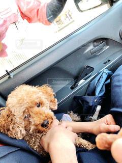 車の座席に座っている犬の写真・画像素材[3104596]