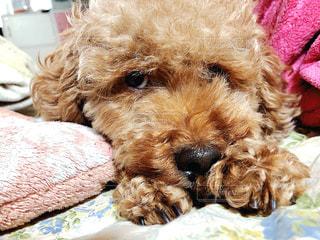 ベッドの上に座っている茶色と白の犬の写真・画像素材[3150704]