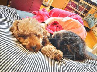 ベッドに横たわる小さな茶色の犬の写真・画像素材[3184121]