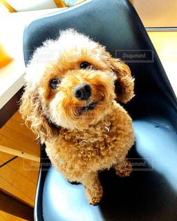 テーブルの上に座っている小さな犬の写真・画像素材[3217291]