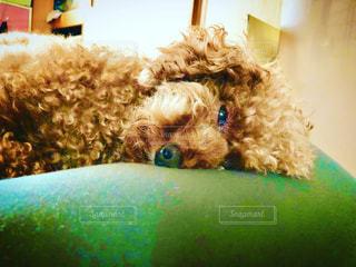 ベッドに横たわっている犬の写真・画像素材[3292920]