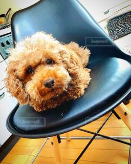 イスに座っている犬の写真・画像素材[3296721]
