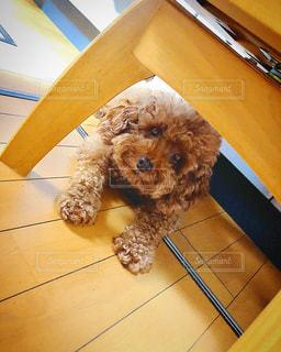 テーブルの上に座っている犬の写真・画像素材[3321157]