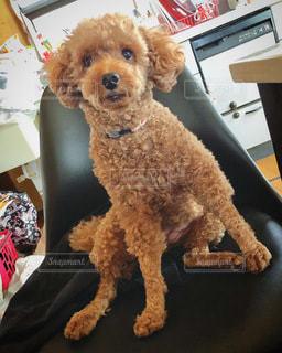 テーブルの上に座っている犬の写真・画像素材[3504198]