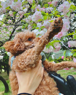 桜キレイですね春ですね 写真 画像素材の写真・画像素材[4315548]