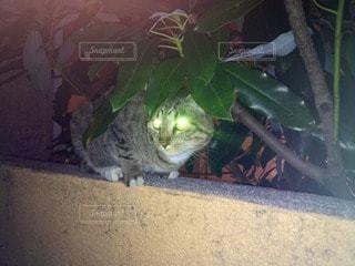 猫の写真・画像素材[102960]