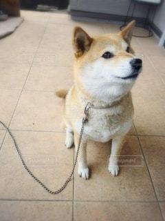 お座りして見上げる柴犬の写真・画像素材[2666366]