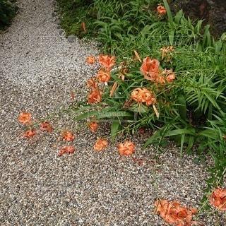 庭のオレンジ色の花の群れの写真・画像素材[2543747]