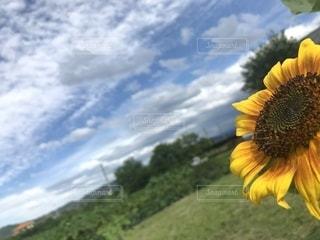 野原の黄色い花の写真・画像素材[2543787]