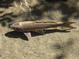 魚の写真・画像素材[137462]