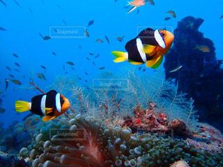 クマノミの海の中の写真・画像素材[2547369]