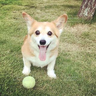 ボール遊び中コーギーの写真・画像素材[2549304]