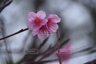 桜の写真・画像素材[373016]