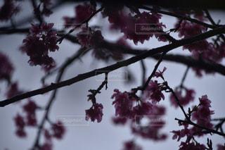 桜の写真・画像素材[377669]