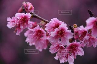 桜 - No.377675