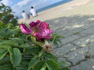 植物のピンクの花の写真・画像素材[2551458]