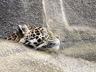 一休みジャガーの写真・画像素材[3980438]