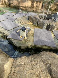 羽ばたきペンギンの写真・画像素材[3980451]